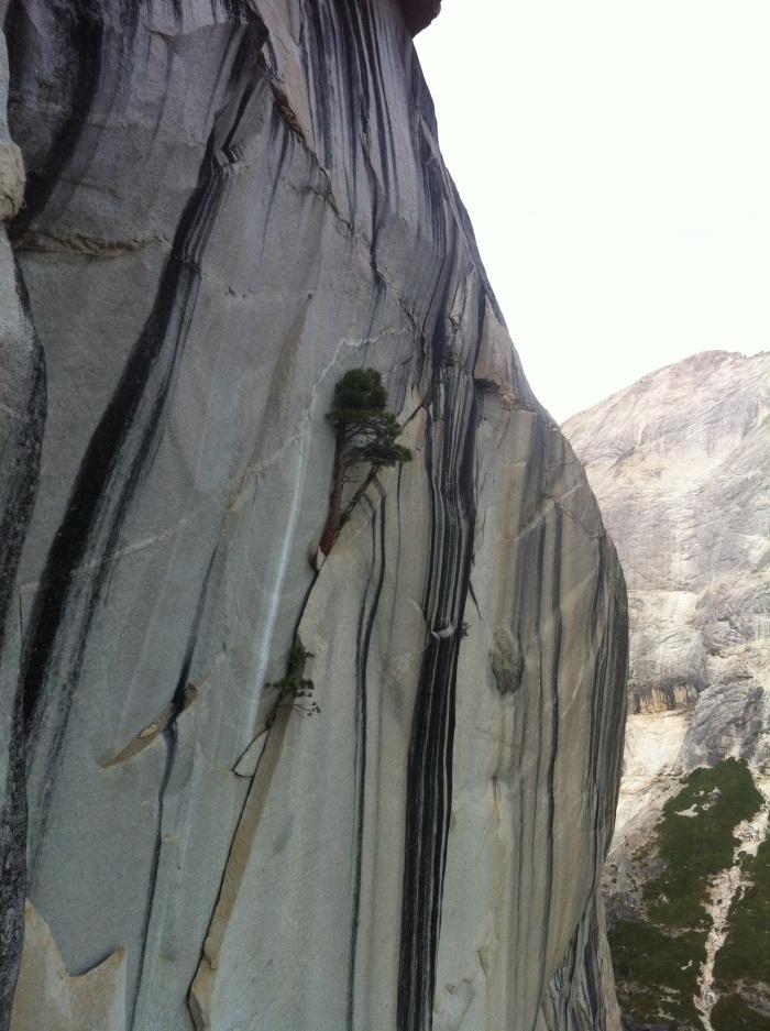 Tough Jefferey pines that grew everywhere!